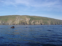 Basking sharks at Peel Castle on 8 June 2008
