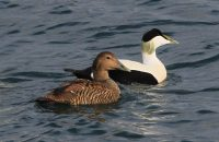 Eiders pairing off by Peel Breakwater, by Beryl Quayle