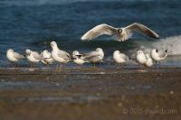 """Summer on the approach"" Black Headed Gull flying in with its summer plumage on the way, by Paul Ward"