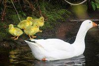 Goslings by Tony Faragher