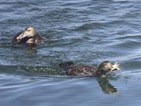 Mallards diving for crabs, by Tony Faragher