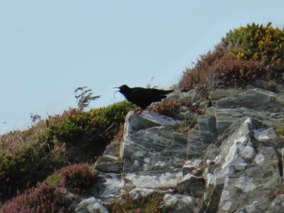Chough on Peel Hill, by Alison Cowin