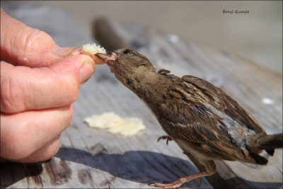 Feeding the sparrows at Peel Breakwater Kiosk, by Beryl Quayle